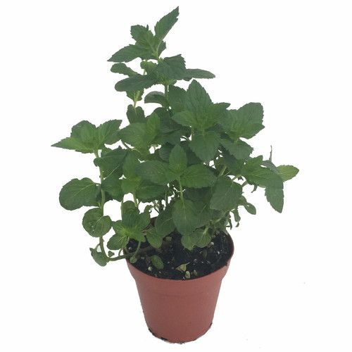"Kentucky Colonel Spearmint - Indoors/Out - Live Plant -3"""" Pot"