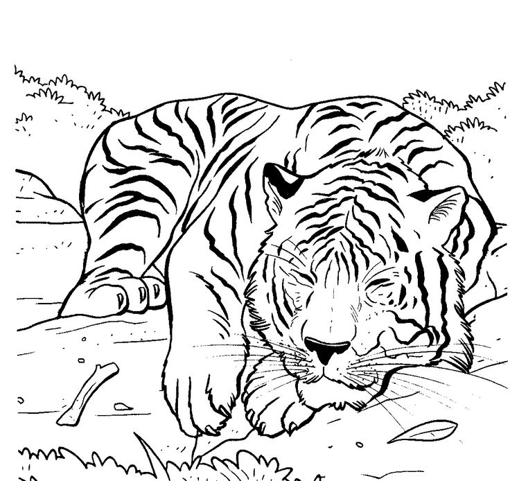 coloring page tiger tiger sleeping lions and tigers tigers - Coloring Pages Tigers Realistic