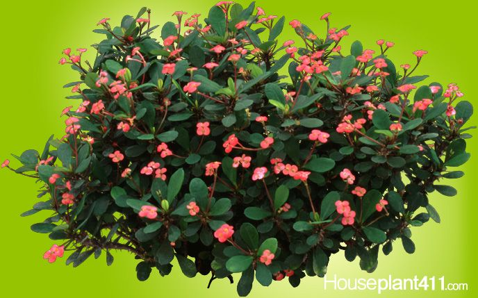 Crown of thorn houseplants are easy care full of for Crown of thorns plant