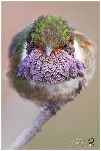Volcano Hummingbird / Estrella Volcanera - ♂   (Selasphorus …   Flickr