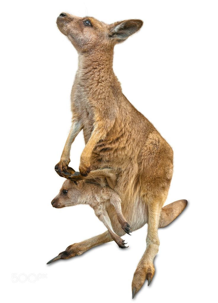 Red female kangaroo, Macropus rufus, with a baby in her pocket, isolated on