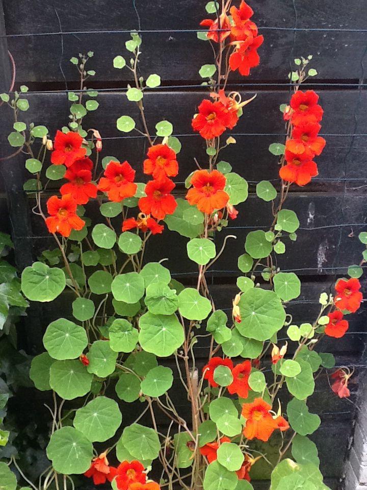Oost indische kers. Eetbareplant. Kan ook klimmen i.p.v hangen