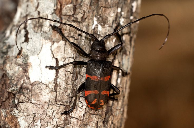 Ceroplesis militaris photographed by Bart Wursten at Gorongosa National Park, Mozambique