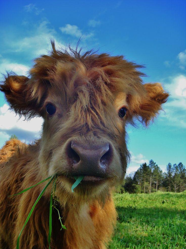 Scottish Highland heifer calf
