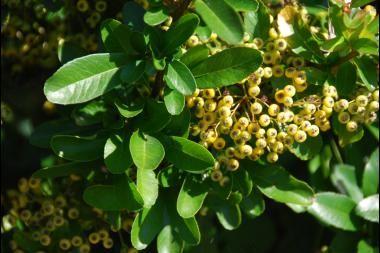 Vuurdoorn 'Golden Charmer'   Pyracantha coccinea 'Golden Charmer' (Nederlandse naam: Vuurdoorn 'Golden Charmer') is een plant die zowel als haagplant en als klimplant gebruikt kan worden. De Vuurdoorn 'Golden Charmer' geeft mooie, witte bloemschermen in mei en juni, gevolgd door oranje/gele bessen in het najaar.