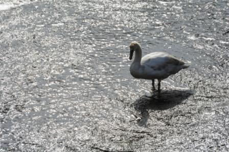 Swan at Beaulieu