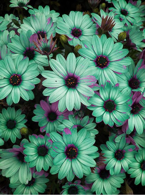Green-teal Berber Daisies w/ a splash of pink!  Gorgeous..