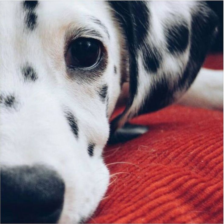 See this Instagram photo by @dalmatians_of_instagram • 3,735 likes