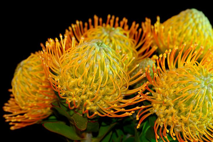 Leucospermum. Shot with red and green gels.