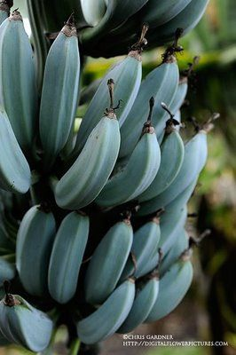 Java Blue or Ice Cream bananas. Totally want to try growing this and found a local nursery that carries it.