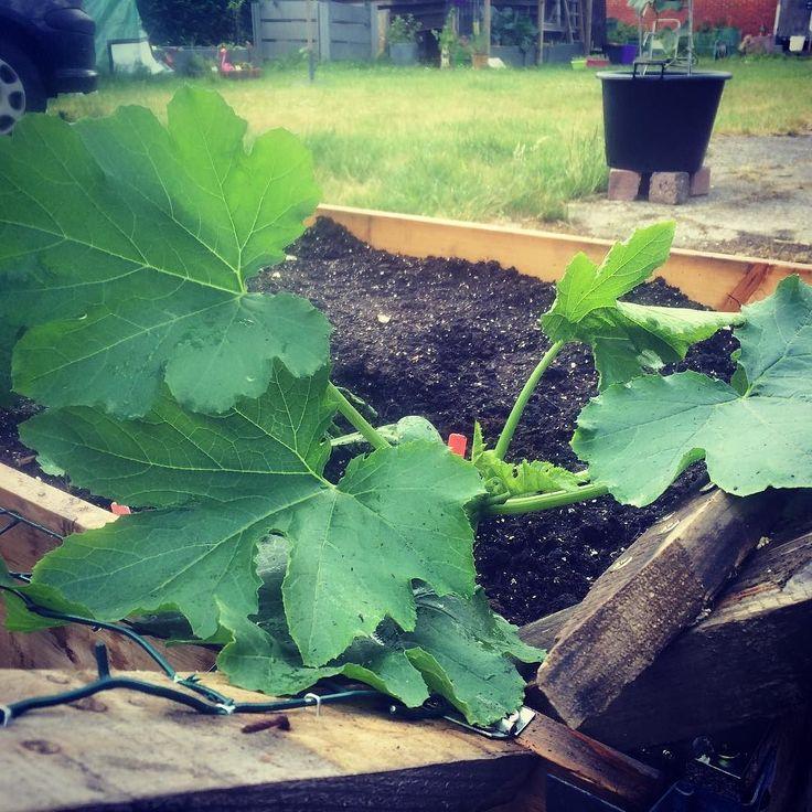 De arme courgetteplant was al veel te groot voor het potje waar hij in stond. Nu kan hij naar hartelust verder groeien  - Finally the zucchini has the chance to grow  #zucchini #courgette #jongeplantjes #moestuin #mygarden #moestuinbak #gardening #growyourown #groententuintje