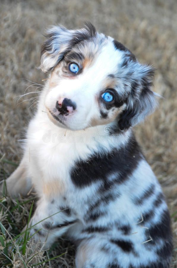 Australian Shepherd Puppy With Blue Eyes Royalty Free Stock Photos In 2020 Puppies With Blue Eyes Blue Eyed Dog Australian Shepherd Blue Eyes