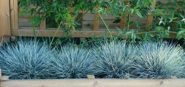 Festuca elijah Blue, De siergas met blauwe uitstraling is een lust voor het oog. Geeft een schitterend tussen het grind of als vakvuller. Festuca glauca of blauw schapegras staat graag op een zonnige plek in een droge, goed gedraineerde tuingrond. De hoogte van Festuca glauca bedraagt tussen de 30 en 40 cm. Festuca glauca is leuk voor in een heidetuin of rotstuin. Ook als vakvuller in een moderne tuin kan Festuca