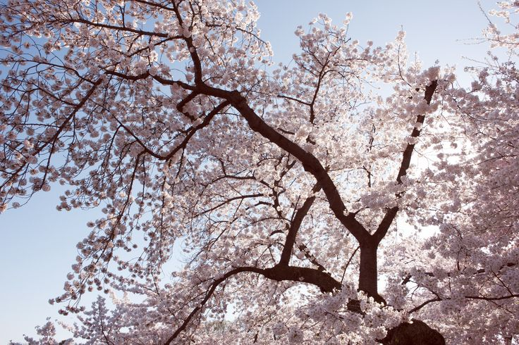 From Washington D.C. to Tokyo, peak cherry blossom season is about to begin. Here are the perfect times to view the blooms in your area.