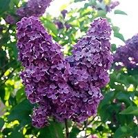 Lilac - Common Purple. For fence line?
