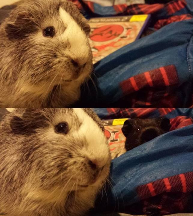 131 best images about Guinea Pig Memes & Humor on ...