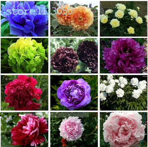 #AliExpress 10pcs/bag Selling Rare Chinese Peony Seedspotted Plant Bonsai Seedsflower Seeds For Sale Home Garden (32715229317) #SuperDeals