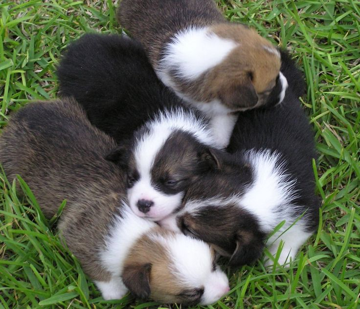 Information for Corgi Puppies For Sale — Hill Country Corgis