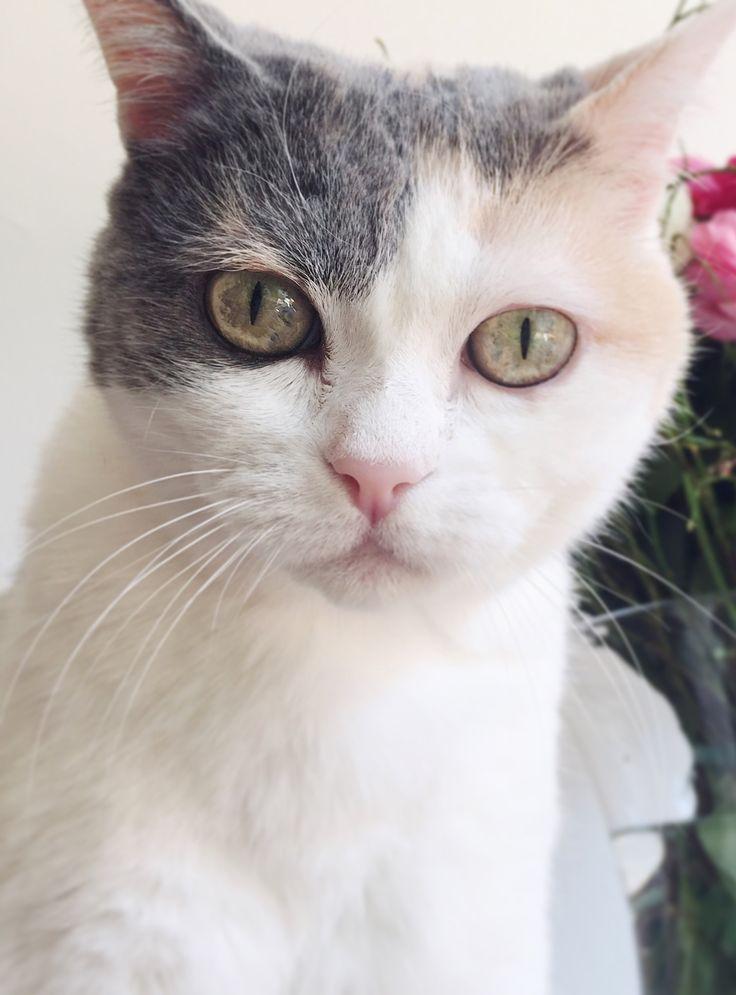 """Vieni sul mio cuore innamorato, mio bel gatto: trattieni gli artigli e lasciami sprofondare nei tuoi occhi belli, misti d'agata e metallo. (Charles Baudelaire) da """"I fiori del Male"""" 1857  #lechat #kitty #white"""