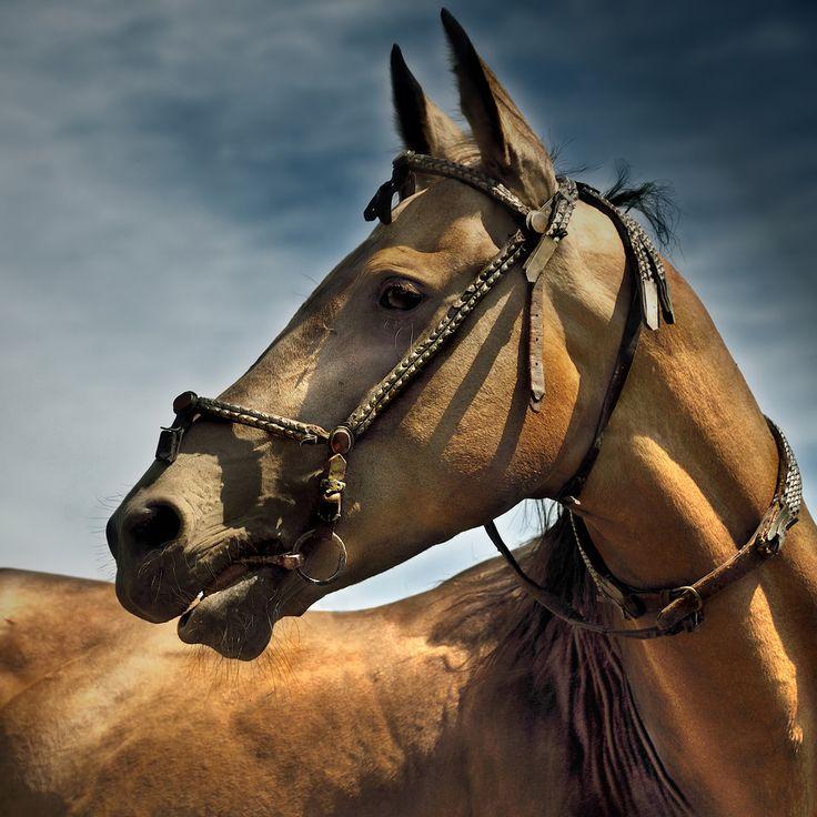 akhal-teke stallion | Flickr - Photo Sharing!