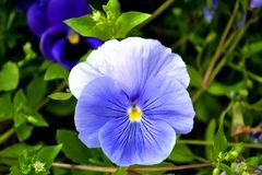 Nadia Mikushova. A summer view to violet pansy flower. Stock Photography