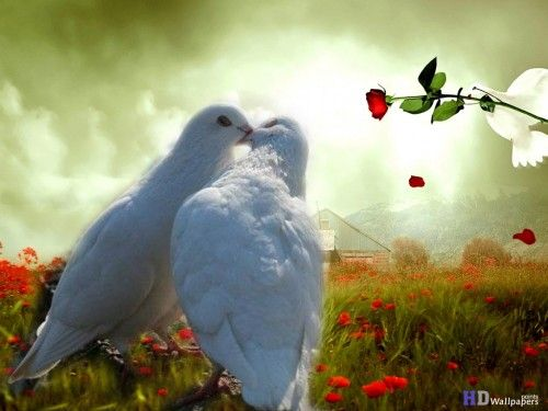 Dove Pictures of lovebirds kissing birds wallpaper HD Wallpaper for computer Wallpapers ...