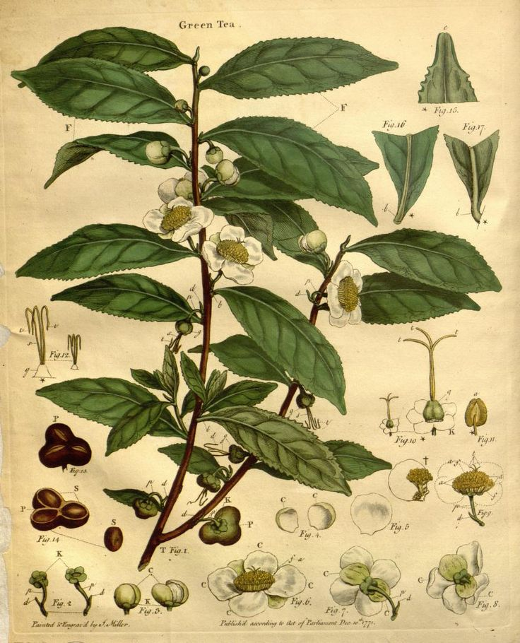"'Green Tea' [Camellia sinensis] botanical print illustration page from ""The Natural History of the Tea-Tree: with Observations on the Medical Qualities of Tea and on the Effects of Tea Drinking"" by John Coakley Lettsom, 1799"
