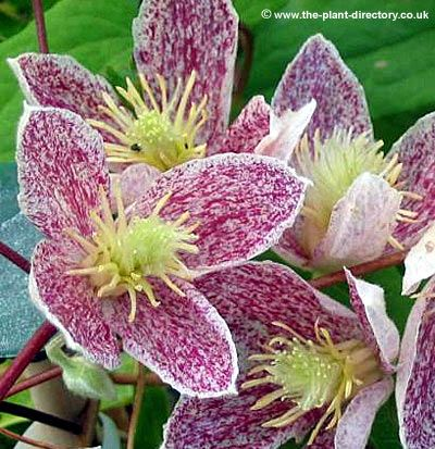 Clematis cirrhosa Freckles  Clematis cirrhosa Wisley Freckles is an evergreen variety that flowers all through Christmas (November to February). Freckles is a lot more colourful than most evergreen varieties, with flowers at a time of year when there is little else flowering...