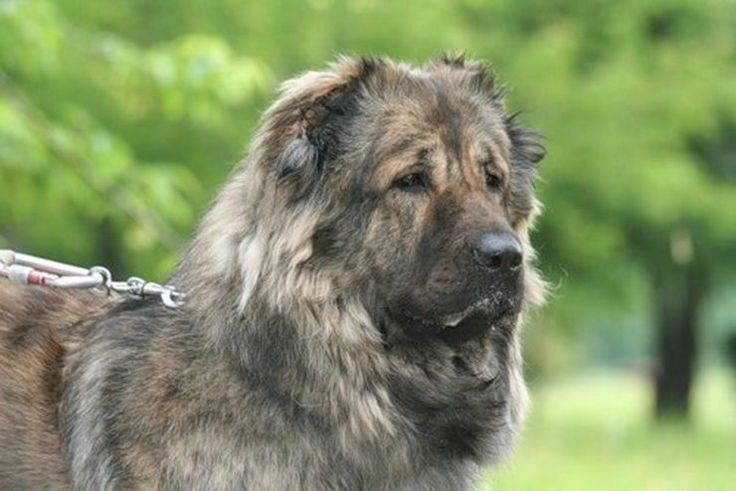 389 best russian dog breeds images on pinterest