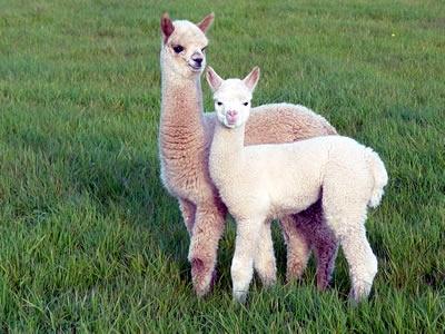 alpacas. so pretty