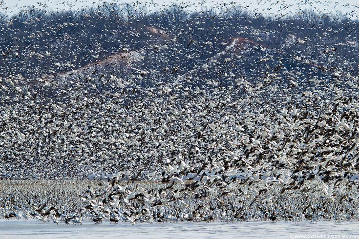 Spring 2011 Snow Goose Migration - Squaw Creek