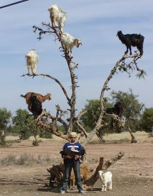 46 best images about Goats in trees. on Pinterest   Trees ...  46 best images ...