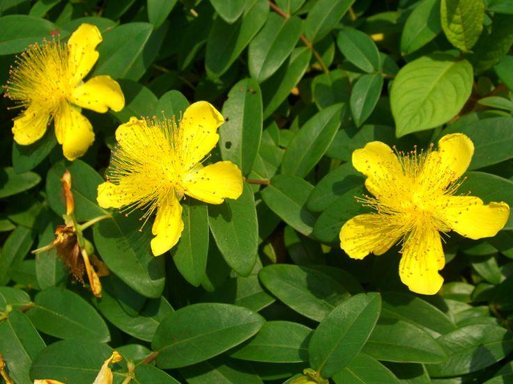 Herfsthooi (Hypericum calycinum) -bloeitijd juni- september met vrij grote gele bloemen voor een klein plantje, groeit tot 25 cm hoogte. Is een goede bodembedekker en kan grote vlakken bedekken. Kort knippen voor het jonge groen gevormd wordt. Staat graag op een zonnige of half beschaduwde plaats in normale tuingrond.