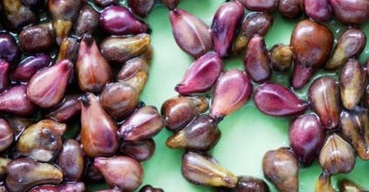 Extrakt z hroznových jadérek proti rakovině