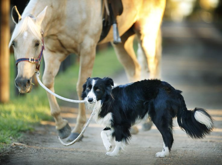 He's a one-year-old border collie who works at Equestrian Excellence in Melbourne.   This Is A Dog That Rides Horses And It's Utterly Brilliant
