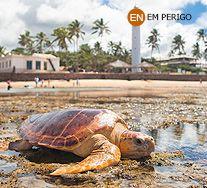 Tartaruga Cabeçuda. Caretta caretta. Zona Costeira. Instituto Chico Mendes de Conservação da Biodiversidade - Destaque - Tartaruga Cabeçuda