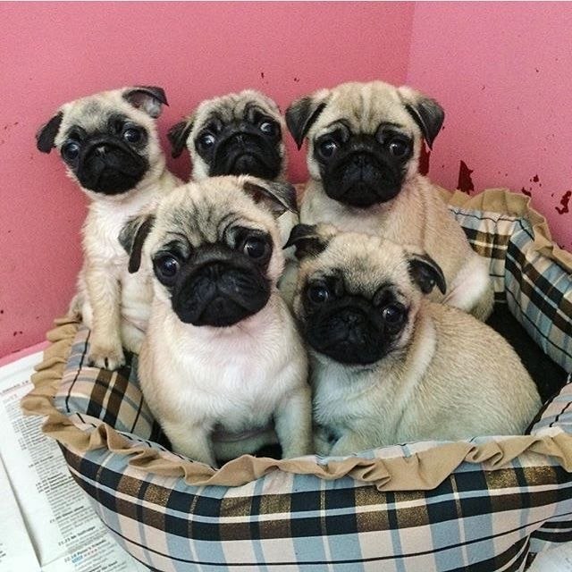 3951 best pugs images on pinterest pug dogs doggies and pug life hand all your treats to us photo by aryathepug by pugbasement thecheapjerseys Gallery