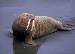 Afbeeldingsresultaat voor walrus illustratie