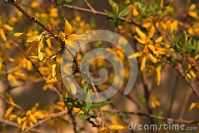 Picture of the flowers of Laburnum