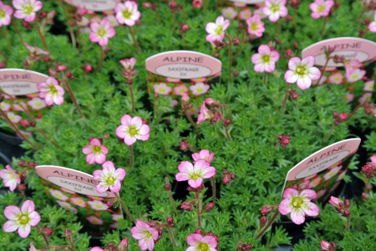 Just a few of our Alpines, in the spring...