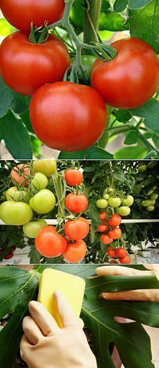 Усадьба   Огородник : 11 ошибок при выращивании томатов