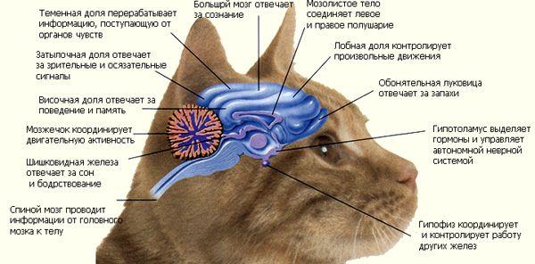 отделы головного мозга щотландской кошки