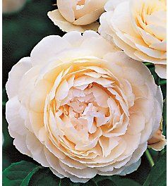 English roses- Windermere Rose. Fruity scent with repeating blooms.