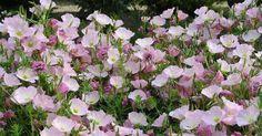 Heißer Sommer = welke Pflanzen? Das muss nicht sein: Mit der richtigen Pflanzenauswahl machen Ihre Blütenstauden im Beet auch bei längerer Trockenheit nicht so schnell schlapp.