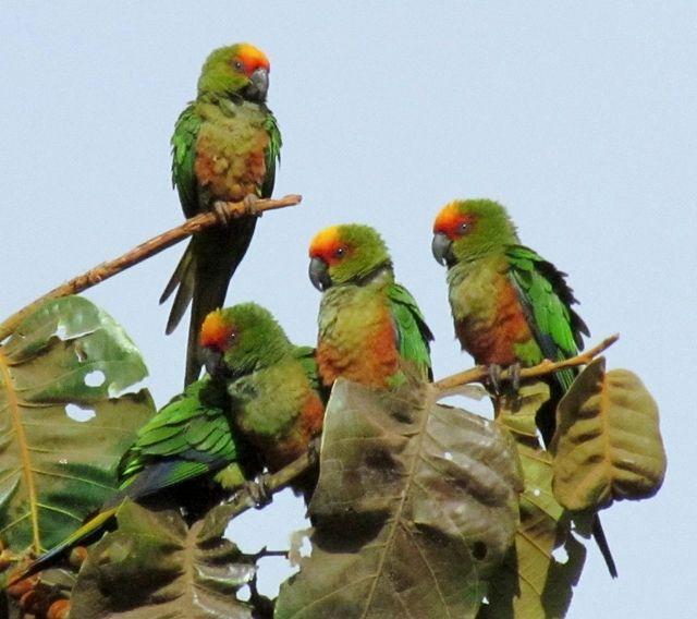 Foto jandaia-de-testa-vermelha (Aratinga auricapillus) por Marcia Carvalho | Wiki Aves - A Enciclopédia das Aves do Brasil