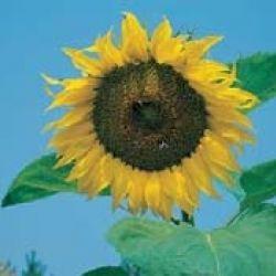 Sun Flower Single Giant Bunga dan ukuran pohon berukuran besar, cocok untuk di tanam di halaman rumah yang terkena langsung cahaya matahari. Minat? sms ke 082214890085
