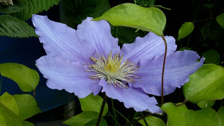 Clematis Zara - blooms larger than usual, about 16cm in diameter. Photo: Dagmara Walkowicz