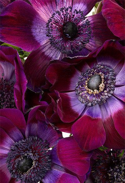 ❈ Fleurs Foncées ❈ dark art photography flowers & botanical prints - Anemone Coronaria by Ann Garrett