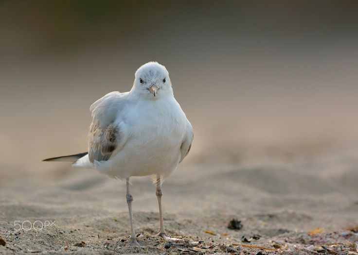 Slender-billed gull at the sunrise - Thank you all for paying attention on my work, your likes and your comments