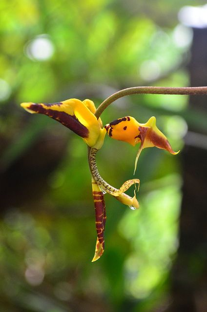 Gongora tricolor Orchid